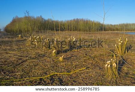 Pruned trees in a field in winter - stock photo
