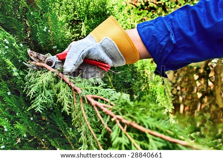 Pruning a branch of a pine tree with cutting shears. - stock photo
