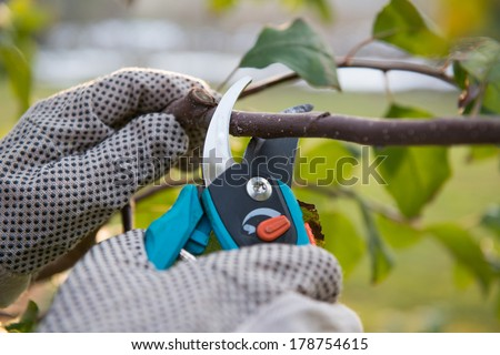 Pruning fruit trees by pruning shears - stock photo