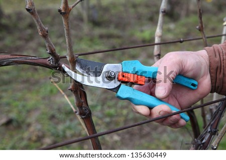 Pruning in a wineyard - stock photo