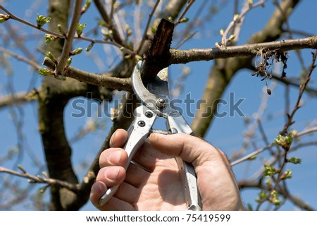 Pruning of the cherry tree - stock photo