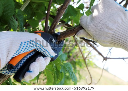 Pruning ornamental shrub branch with a garden secateur in the summer garden