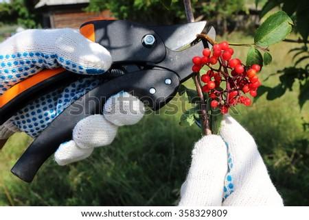 Pruning ripe bunch of the red elderberry (Sambucus racemosa) red berries with a garden secateurs in the summer garden - stock photo
