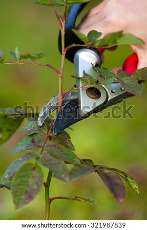 pruning rose with secateurs - stock photo