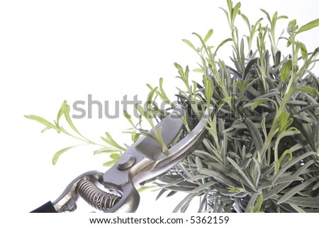 pruning the plants. isolated on the white background - stock photo