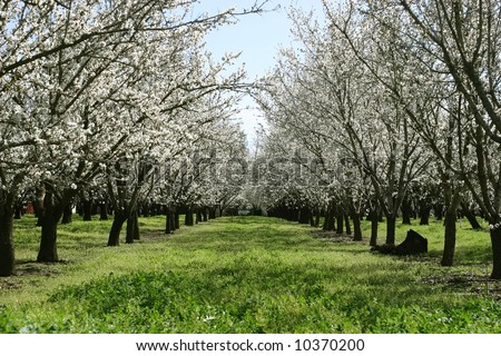 Prunus dulcis, flowering nonpareil almond trees - stock photo