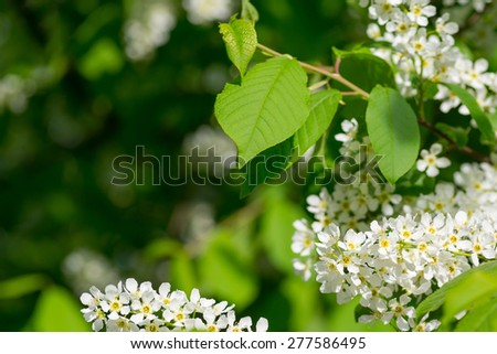 Prunus padus (European Bird Cherry) in bloom at spring garden. Selective focus with shallow depth of field. With copyspace. - stock photo