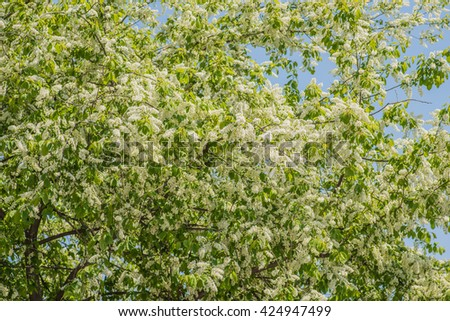 Prunus padus (European Bird Cherry) in bloom at spring garden. Selective focus with shallow depth of field. - stock photo
