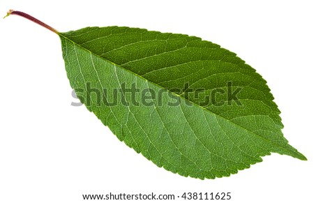 Prunus padus tree green leaf ( bird cherry, hackberry, hagberry, mayday tree) isolated on white background