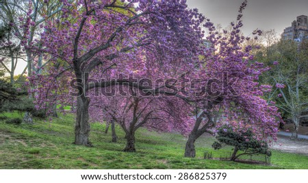 Prunus serrulata or Japanese Cherry; also called Hill Cherry, Oriental Cherry or East Asian Cherry