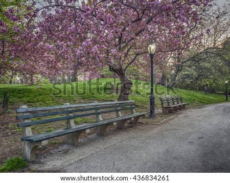 Prunus serrulata or Japanese Cherry; also called Hill Cherry, Oriental Cherry or East Asian Cherry, is a species of cherry native to Japan, Korea and China