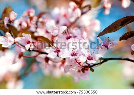 Prunus serrulata or Japanese Cherry, also called Hill Cherry, Oriental Cherry or East Asian Cherry. - stock photo