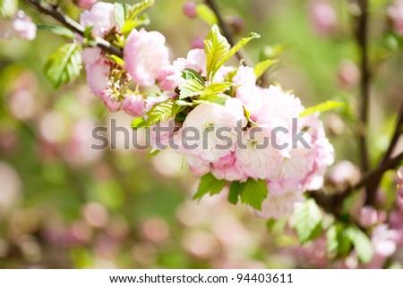 Prunus serrulata or Japanese Cherry in full bloom. - stock photo