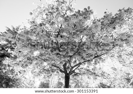 Prunus serrulata treetop full of flowers. Japanese cherry tree in spring.  Backlit black and white  - stock photo