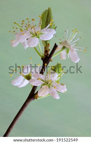 Prunus spinosa, Blackthorn - stock photo