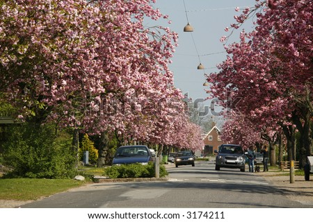 Prunus yedoensis or Japanese cherry trees in full bloom - residential area - Denmark. - stock photo