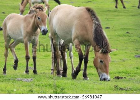 Przewalski horse - stock photo