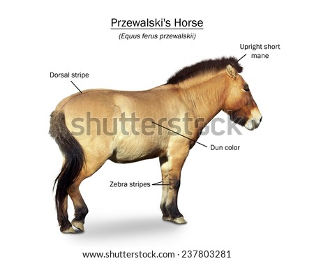 Przewalski's primitive wild horse, Equus przewalsk,poster presentation - stock photo