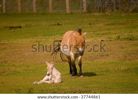 Przhevalsky horse with foal