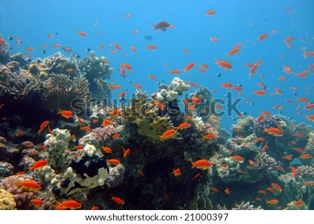Pseudanthias squamiphinnis fishes and corals of the Red sea - stock photo