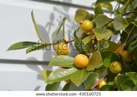 Psidium cattleyanum fruit commonly known as Cattley guava, strawberry guava or cherry guava grow on a tree.