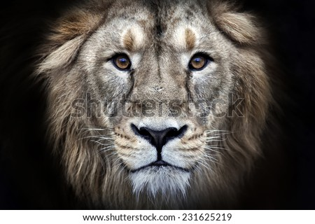 Psychedelic grunge style closeup portrait of an Asian lion, isolated on black background. King of beasts. Wild beauty of the biggest cat. The most dangerous and mighty predator of the world. - stock photo