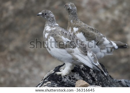 Ptarmigan (Lagopus Mutus) on a rock near Qoornoq, Greenland - stock photo