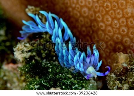 Pteraeolidia ianthina, a nudi branchia, sea slug... - stock photo