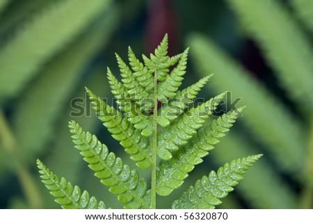 pteridophyte fern in close up in Shakespear's garden, Central Park - stock photo