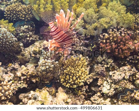Pterois volitans, Lionfish on coral reef. Red Sea. Egypt
