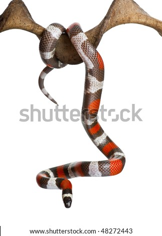 Pueblan milk snake or Campbell's milk snake, Lampropeltis triangulum campbelli, hanging from branch in front of white background - stock photo