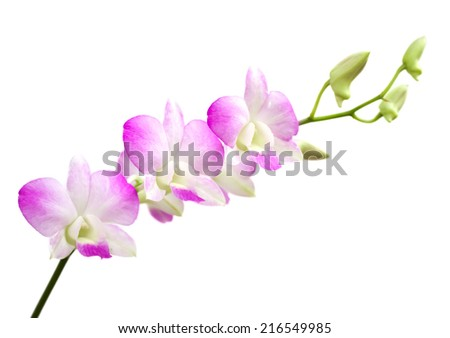 Pueple Orchid flower on the white background - stock photo