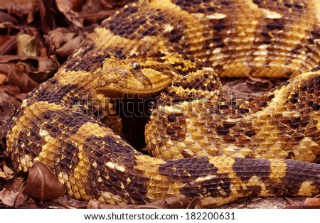 Puff Adder. - stock photo