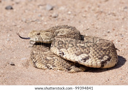 Puff Adder (Bitis arietans) curled up with tongue out, South Africa