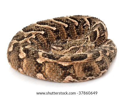 Puff adder (Bitis arietans) isolated on white background - stock photo
