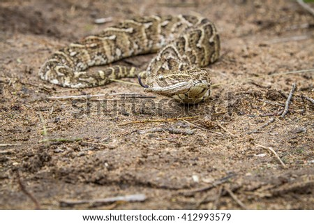Puff adder on the ground, South Africa.
