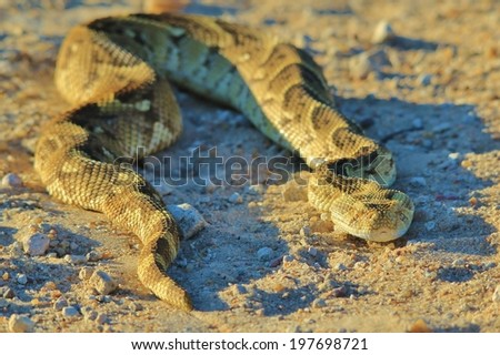 Puff Adder - Snake Background from Africa - Beautiful Nature and her Deadly inhabitants - stock photo