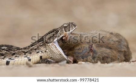 Puff Adder snake (Bitis arietans) swallowing a brown rat, South Africa - stock photo