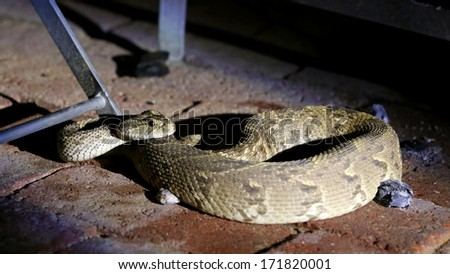 Puff adder snake curled up in human area, Kalahari, South Africa - stock photo