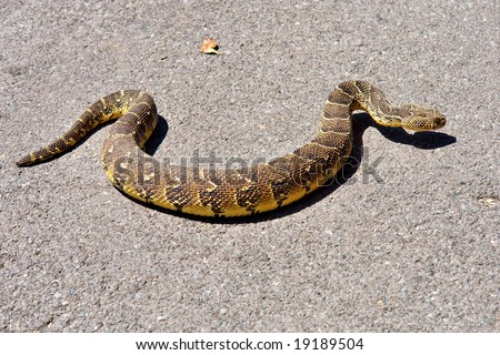 Puff adder viper (Bitis arietans) on the road. Shot in the Cape of Good Hope and Cape Point Nature Reserve, Table Mountain National Park, near Cape Town, South Africa. - stock photo