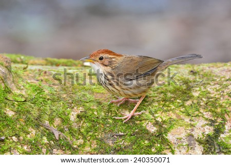 Puff-throated babbler bird (Pellorneum ruficeps) - stock photo