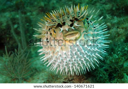 Puffed up blowfish swimming in the ocean - stock photo