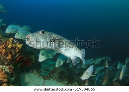 Puffer and Sweetlips fish underwater