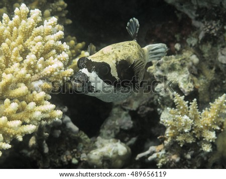 Puffer Fish. Marine Life in the Red Sea. Egypt