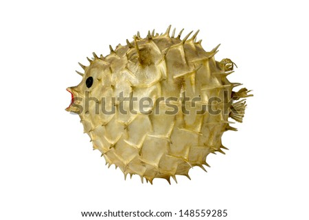 Puffer isolate on a white background - stock photo