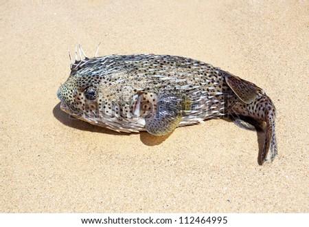 puffer on the beach - stock photo