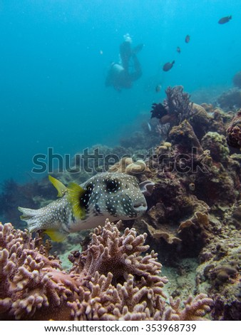 Pufferfish (Arothron mappa) resting on the substrate with diver in the background. underwater photo.