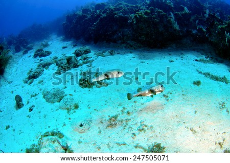 Pufferfish, Grand Cayman - stock photo
