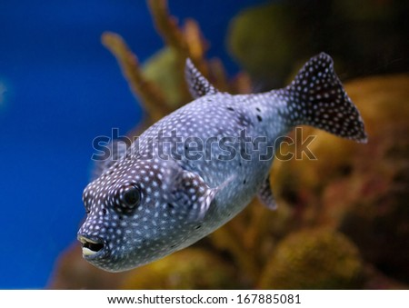Pufferfish Guineafowl Puffer Arothron Meleagris exotic tropical fish  - stock photo