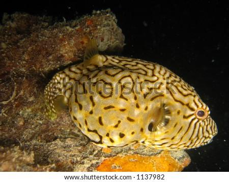 pufferfish on a wreck - stock photo